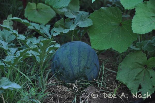 'Picnic' watermelon not ripe.