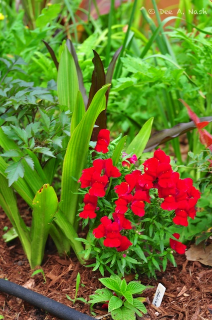 Glorious red snapdragons with soaker hoses beneath.