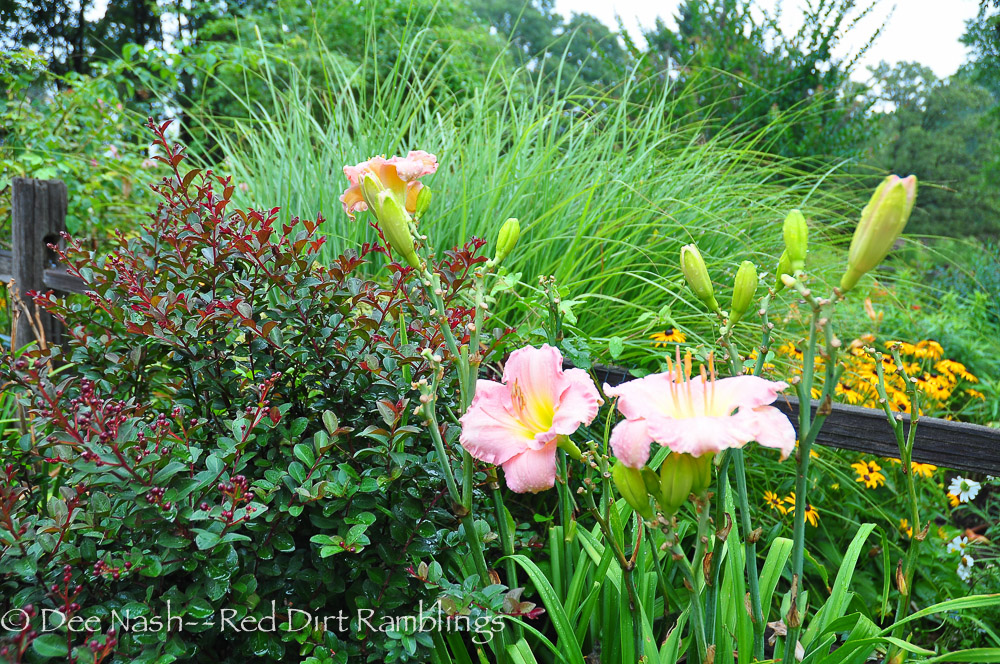 Hemerocallis 'Blue Pink Beauty' with maiden grass and Tightwad Red crapemyrtle is a good place to look.