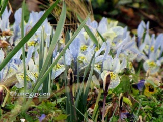 A photo of Iris reticulata 'Katharine Hodgkin' from my friend, Frances at Fairegarden.