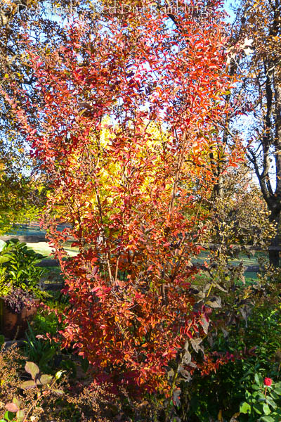 Did you know crapemyrtles turn beautiful colors in the fall?