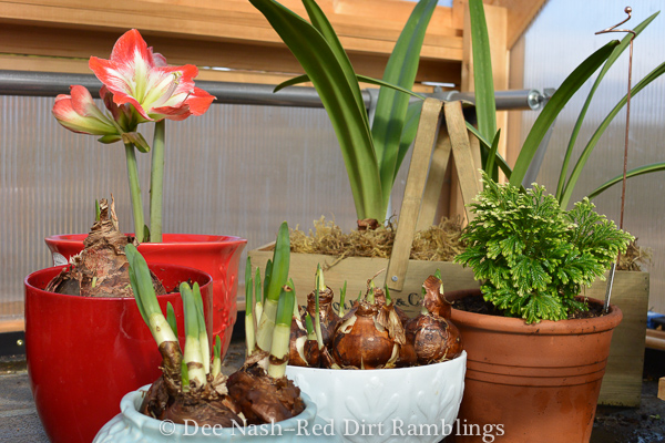 Another group of narcissus and several dwarf amaryllis (Hippeastrum)