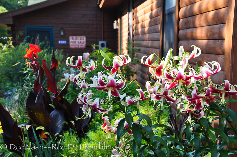'Scheherazade' (Orienpet lily) with 'Australia' cannas in the side garden. Garden Bloggers Bloom Day July