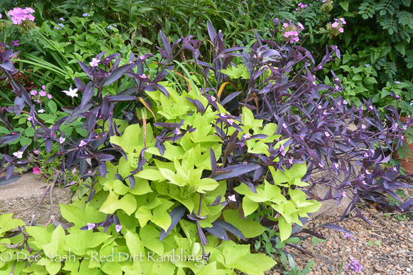 Purple heart and sweet potato vine is one of the easiest combos for the heat.
