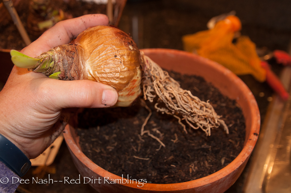 Place amaryllis bulb in container and gently spread its roots if possible. Don't worry if the bulb has already sprouted and started to grow.