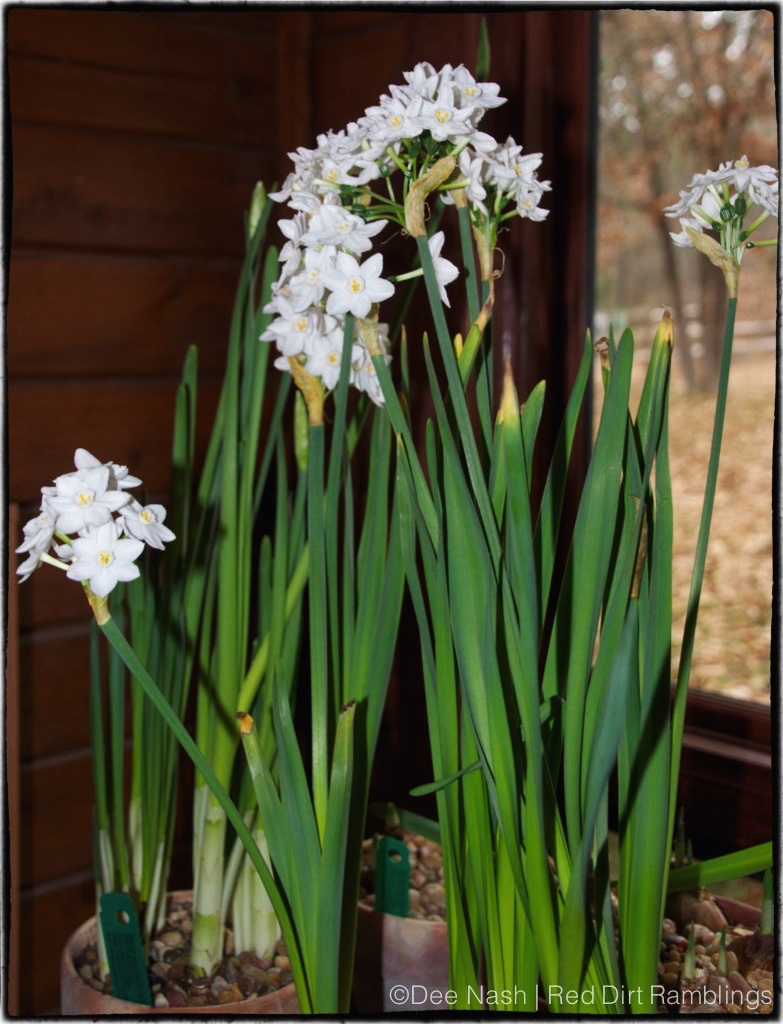 Narcissus 'White Nir' and 'Ariel' paperwhites aren't as highly scented as 'Ziva' which is sold nearly everywhere.