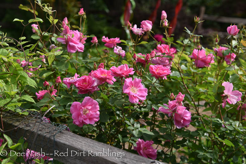 Rosa 'Carefree Beauty' is still well.