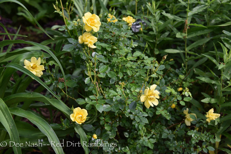 Rosa OSO Easy Lemon Zest is a cute little thing.