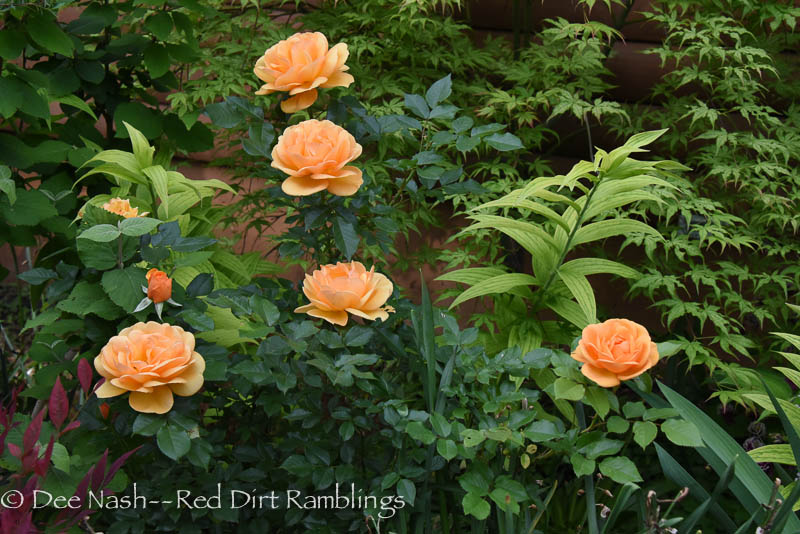 Rosa 'South Africa,' Acer palmatum 'Peaches and Cream' and 'Casa Blanca' lilies in the bed bordering the garage. This is one of my favorite beds.