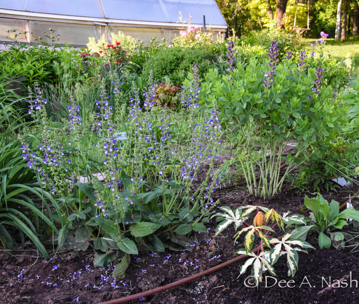 Unknown bi-colored salvia, Decadence® Blueberry Sundae baptisia, variegated tapioca