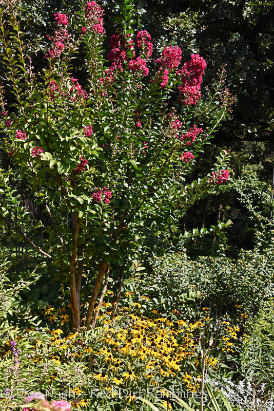 Pink crapemyrtle and blackeyed Susans, 'Goldsturm'