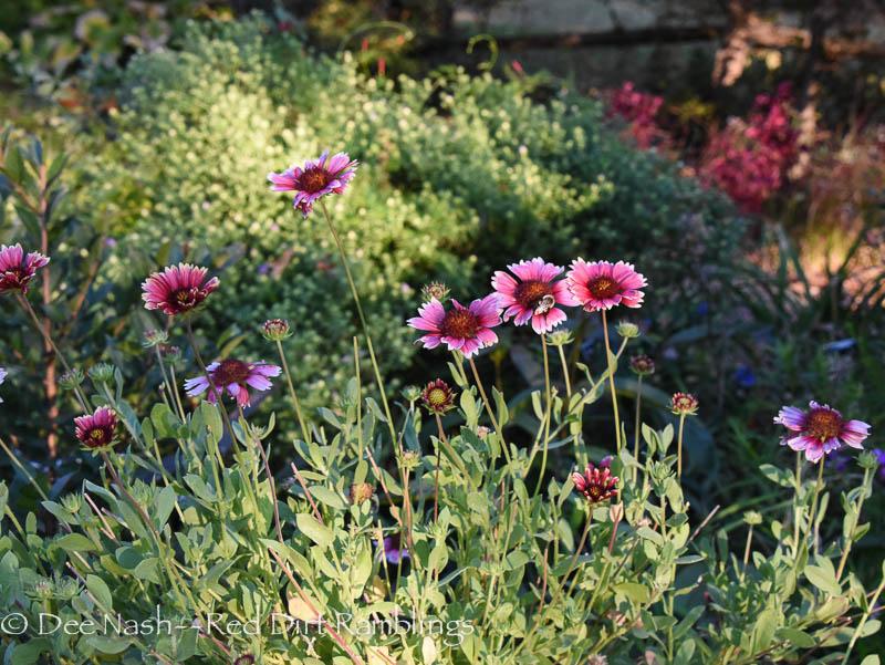 Favorite perennials. Gaillardia 'Punch Bowl'
