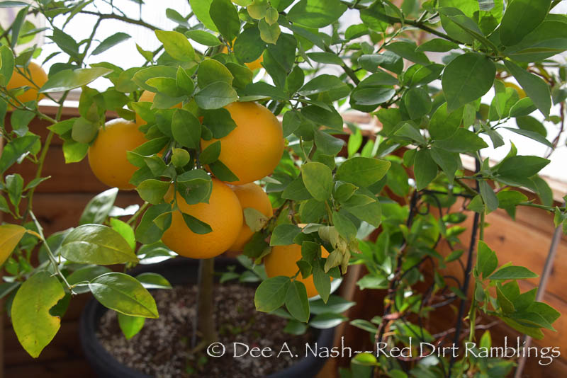 'Republic of Texas' orange tree that grows in the greenhouse over winter. The oranges are very good.