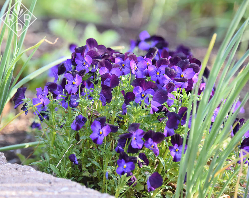 Purple violas in the potager from last fall.