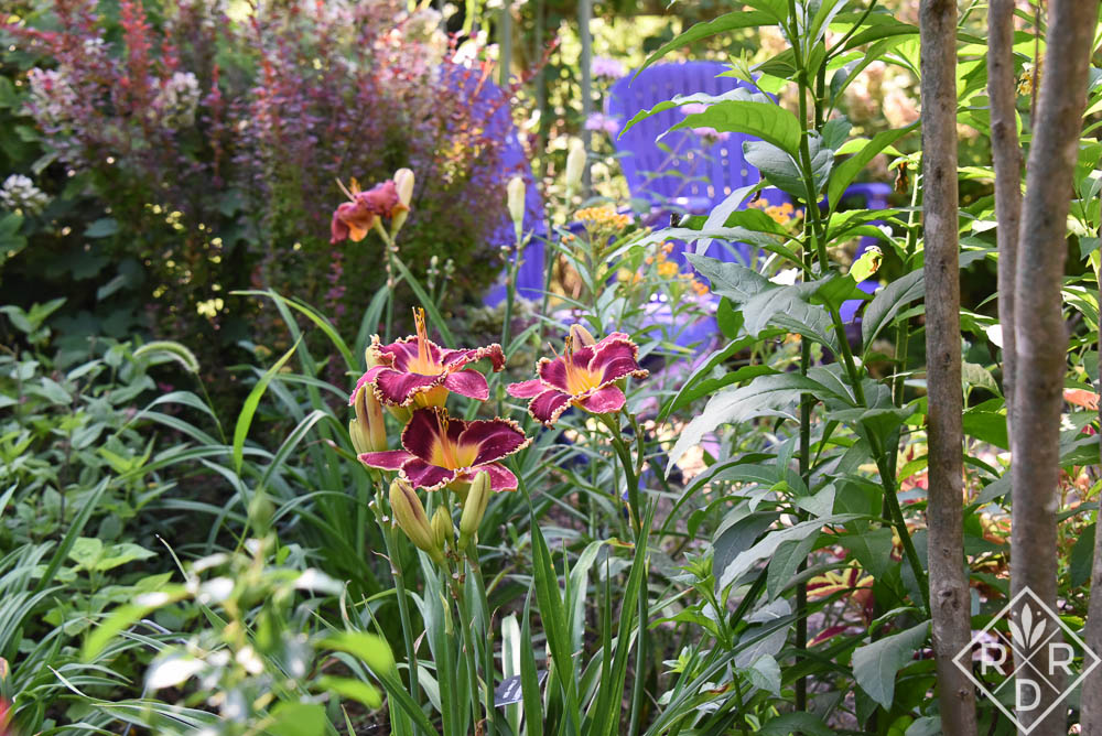 Hemerocallis Raspberry Goosebumps in front of my purple chairs.