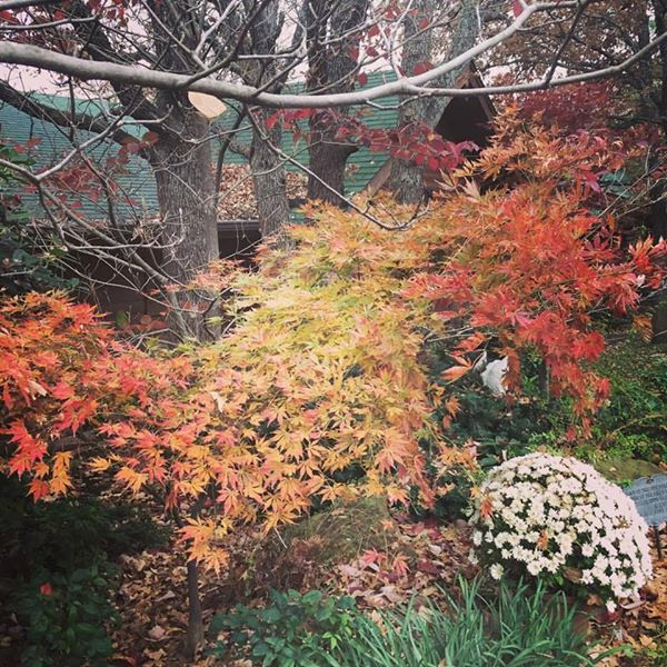 It's not just about the flowers. Fall color in the front border from a 'Viridis' Japanese maple and 'Cherokee Chief' dogwood behind.