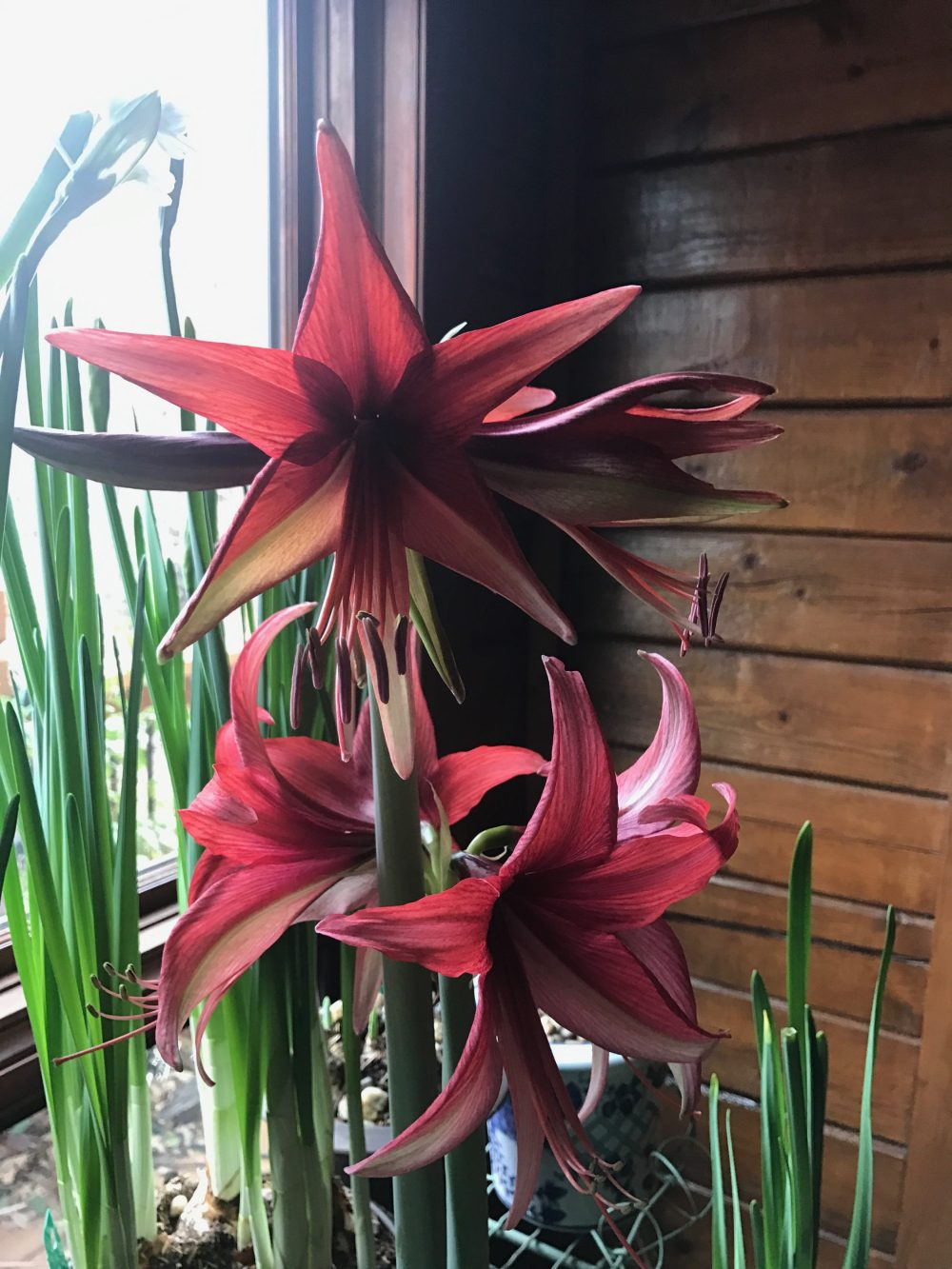 Hippeastrum 'Bogata' amaryllis is bright and full of good cheer.