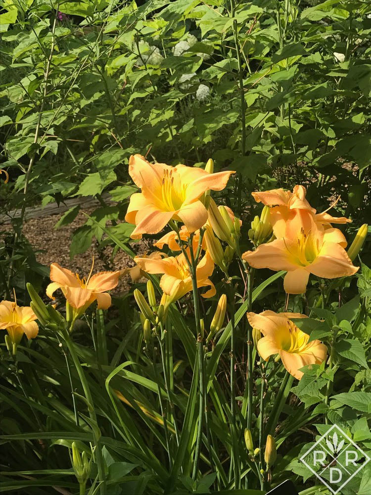 A clump of one of my favorite daylilies. It's an old Munson cultivar.