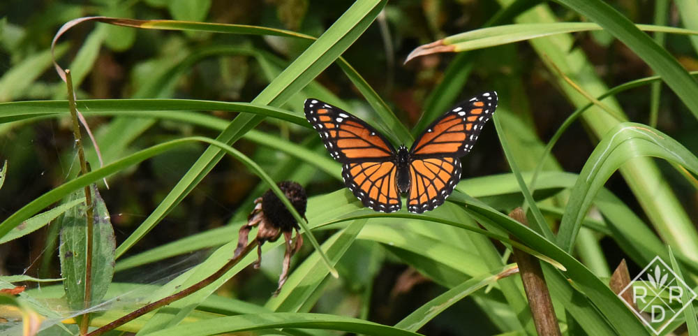 Not a Monarch, but instead, a mimic, the Viceroy butterfly, Limenitis archippus, has a smile on its lower wings that the Monarch doesn't have.