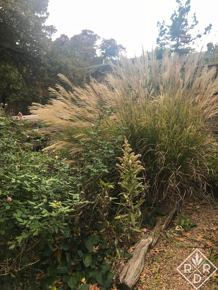 Good old Miscanthus sinensis, maiden grass in my garden.. It is next to Blush Knockout rose.