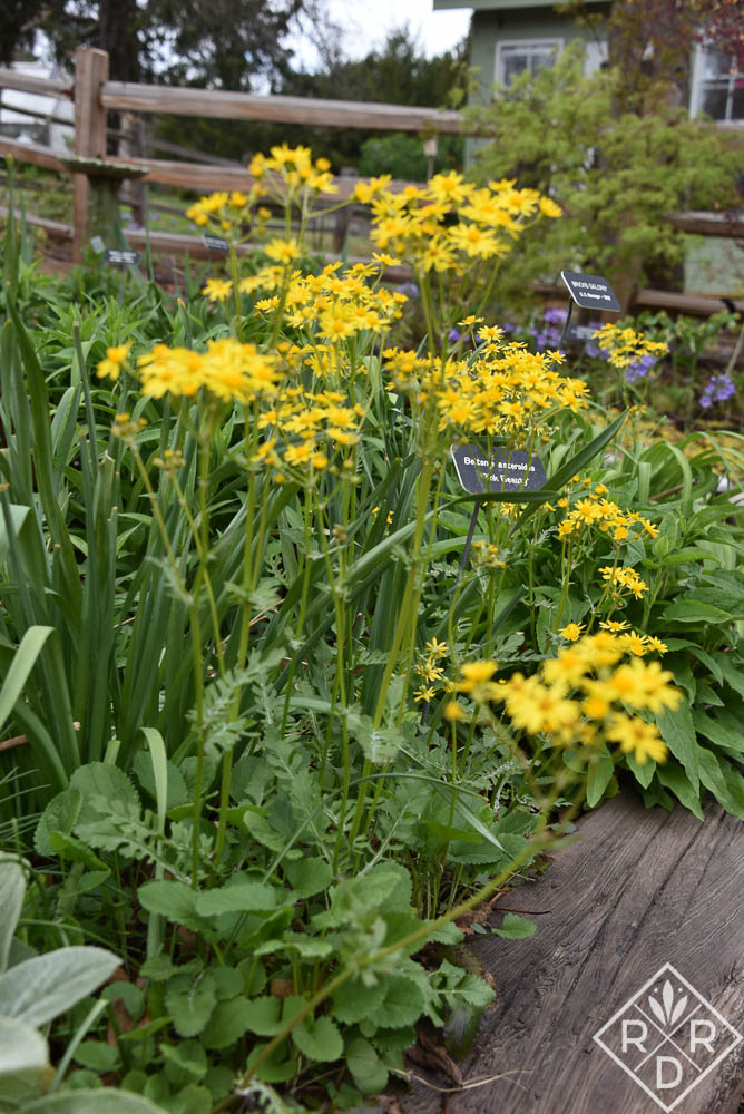 Packera obovata, formerly Senecio obovatus, is a pretty aggressive native perennial, but oh, look at that yellow color. Pollinators like it too. It also makes a good groundcover in difficult places. Garden Bloggers' Bloom Day