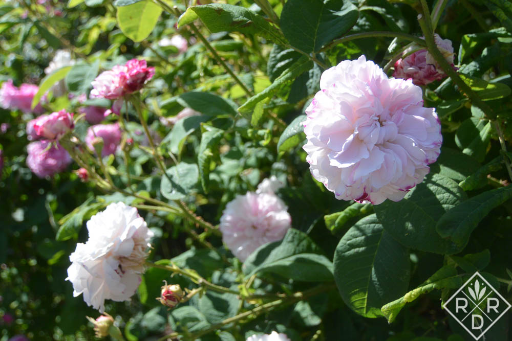 Rosa 'Leda.' This appears to actually be 'Pink Leda,' an old Damask rose, one of ancient varieties of rose.