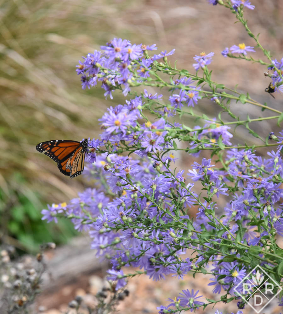 Monarch on Symphyotrichum laeve 'Bluebird' smooth aster.