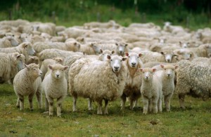 sheep into one sheepfold