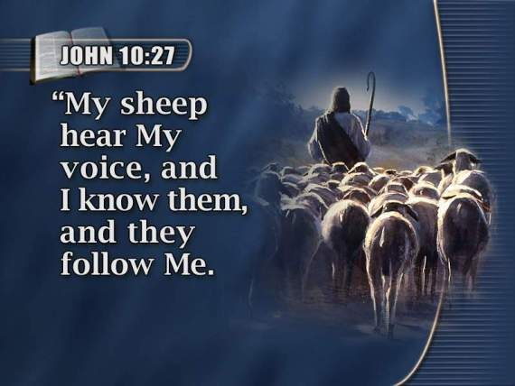 sheep hear my voice