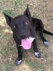 <UL> FOSTER NEEDED <UL>Georgia <LI> Breed: Border Collie Mix <LI> Sex: F <LI> Age: 8 months <LI> Fee