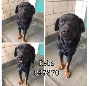 <UL> Reba <LI> Breed: Pure rottweiler <LI> Sex: Female <LI> Age: 3 yr old <LI> Fee: $225