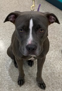 <UL> FOSTER NEEDED <UL>Sadie <LI> Breed: Pit Bull Mix <LI> Sex: F <LI> Age: 2 yrs <LI> Fee: $225