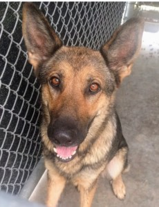 <UL> FOSTER NEEDED <UL>Sally <LI> Breed: German Shepherd Mix <LI> Sex: F <LI> Age: 3 yrs <LI> Fee: $