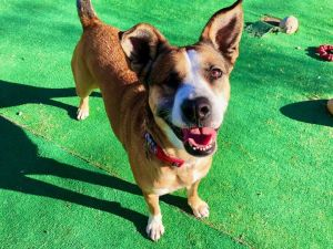 <UL> Macy <LI> Shepherd/Akita Mix <LI> Sex: F <LI> Age: 3yrs <LI> Fee: $250