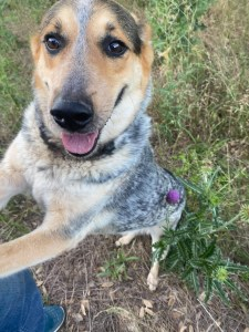 <UL> Tizzy <LI> Heeler mix <LI> Sex: F <LI> Age: 2 yrs <LI> Fee: $250