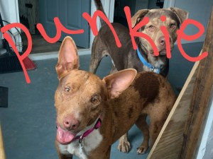 <UL> Spunky <LI> Catahoula mix <LI> Sex: F <LI> Age: 2 yrs <LI> Fee: $250