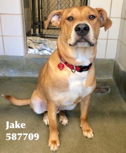 <UL> Jake <LI> Mastiff/Carolina Dog mix <LI> Sex: M <LI> Age: 10 mos <LI> Fee: $275