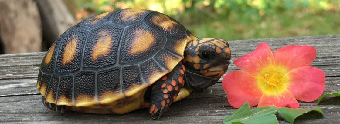 redfoot tortoise yolk sac