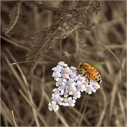 selective bee on flowers