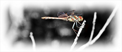 selective colors of a dragonfly