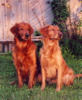 Red Golden Retriever Puppies For Sale : golden, retriever, puppies, Zomarick, Golden, Retrievers, Rustiques