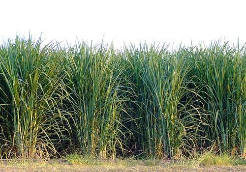 sugarcane_91rs