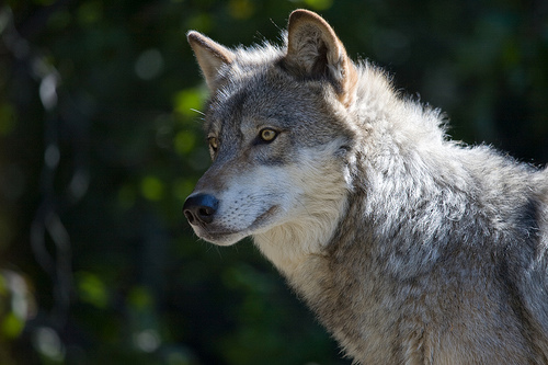 Obama Freezes Pending Bush Regulations, Good News for Wolves