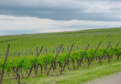 A vineyard near Colmar