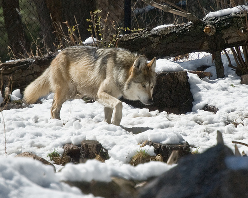 Budget deal kills gray wolves AND the endangered species act