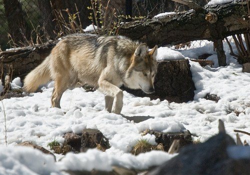 gray_wolf_dolor_ipsum