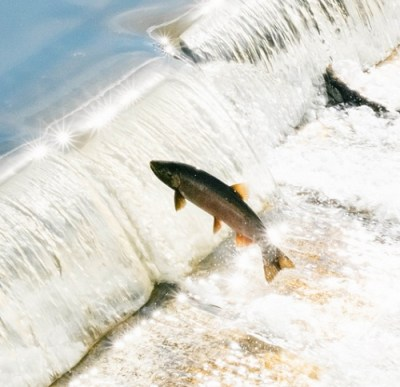 leaping salmon by taomeister