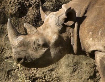 Texas oil company pollution killed this black rhino