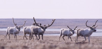 Caribou Alaska ANWR photo by NOAA