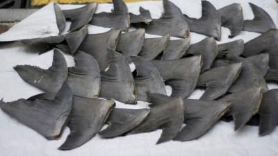 shark fin trade ban photo by nicholas wang on Flickr